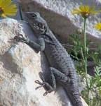 desire-cy-lizard